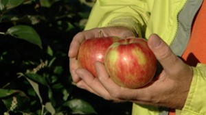 New Apple Variety to Turn Into Ice Wine Gold...