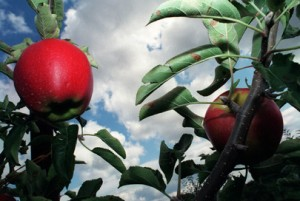 Without Innovation, you Die...Ontario Fruit Growers are Losing Ground
