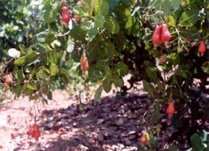 The Start of a Fruit Wine Industry in India