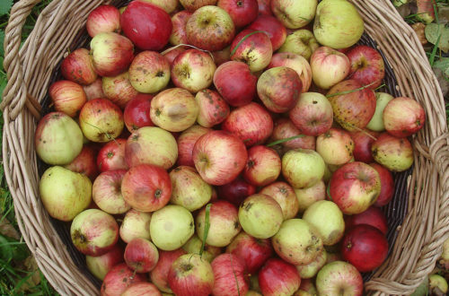 What Apple Varieties are used in Quality Craft Cider?